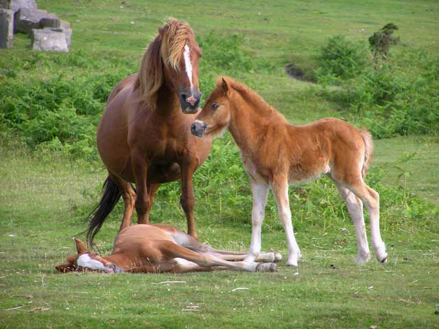 Ponies and foals Bodmin Moor