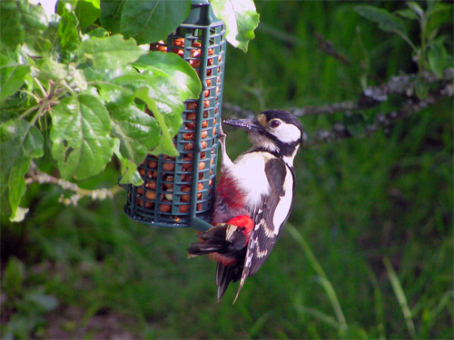 greater-spotted-woodpecker