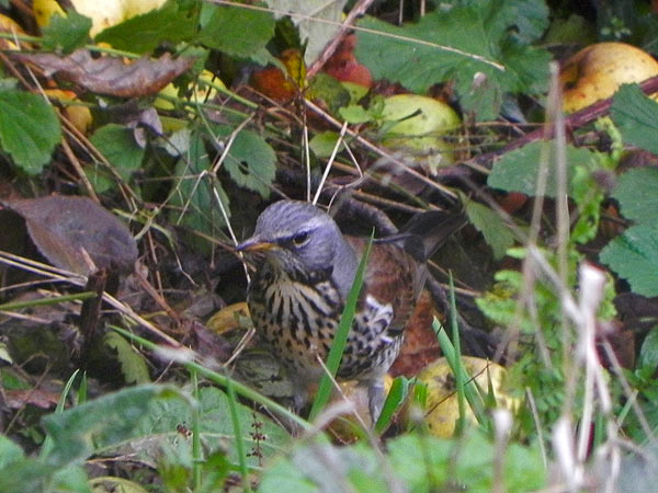 Fieldfare getting drunk in the orchard.