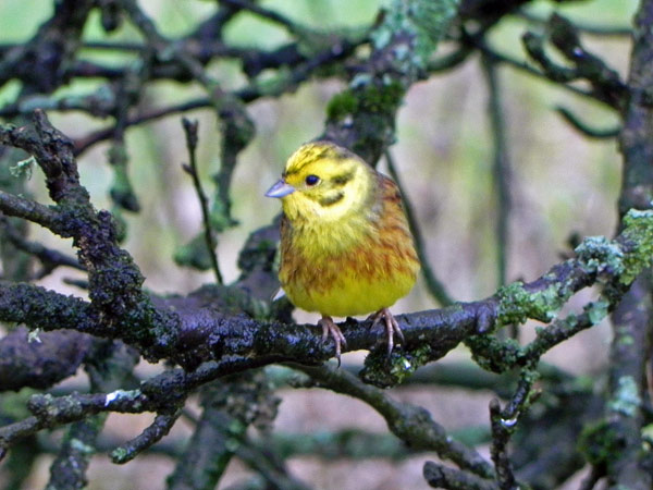 Yellowhammer in a Cornish garden.